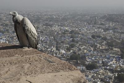 Long-Billed Vulture (Gyps Indicus)-Bernard Castelein-Photographic Print
