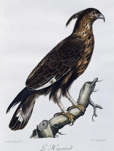 Long-Crested Eagle (Lophaetus Occipitalis)--Giclee Print