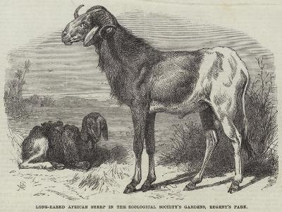 Long-Eared African Sheep in the Zoological Society's Gardens, Regent's Park--Giclee Print