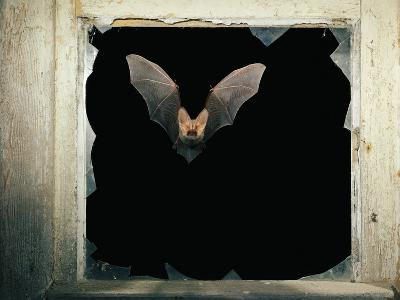Long Eared Bat--Photographic Print