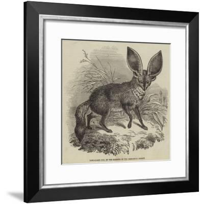 Long-Eared Fox, at the Gardens of the Zoological Society--Framed Giclee Print