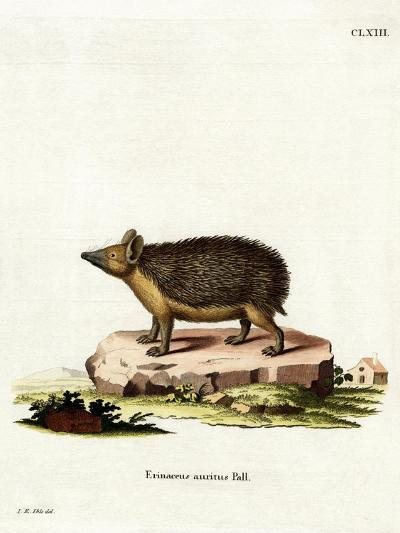 Long-Eared Hedgehog--Giclee Print