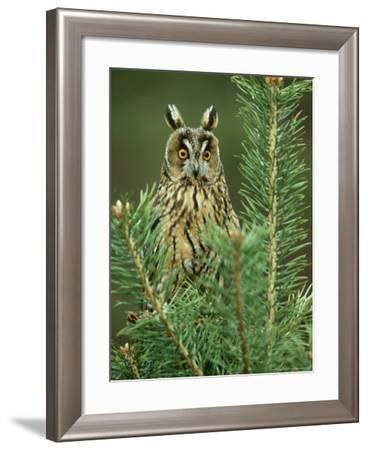 Long-Eared Owl, Adult Perched on Pine, Scotland-Mark Hamblin-Framed Photographic Print