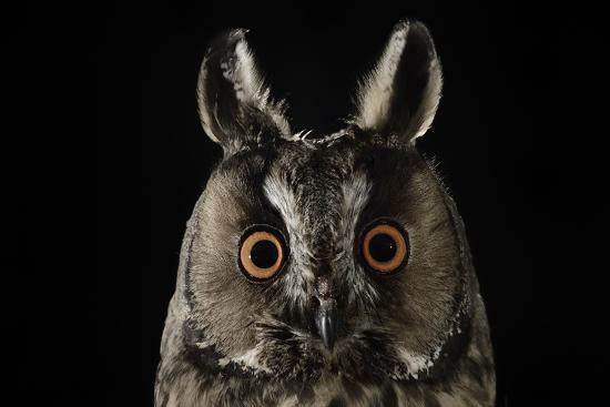 Long Eared Owl (Asio Otus) at Night, Perched on Oak Tree Snag-Solvin Zankl-Photographic Print