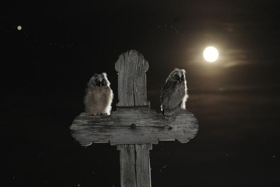 Long Eared Owl (Asio Otus) Chicks Perched on a Cross-Bence Mate-Photographic Print