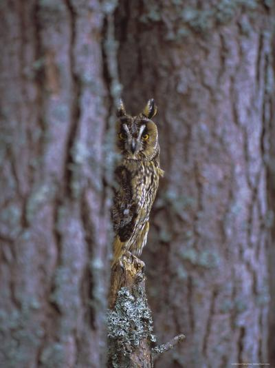 Long Eared Owl (Asio Otus) in Winter, Scotland, UK, Europe-David Tipling-Photographic Print