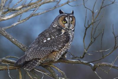 Long-Eared Owl at Dusk-Ken Archer-Photographic Print