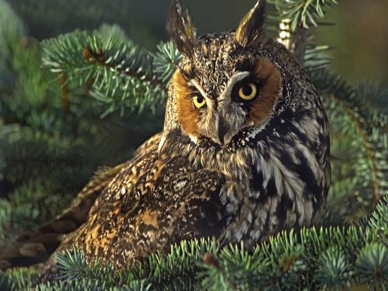 Long-Eared Owl, British Columbia, Canada-Tim Fitzharris-Photographic Print