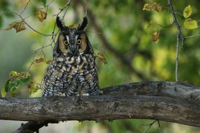 Long-Eared Owl Perched on Tree Branch-W^ Perry Conway-Photographic Print