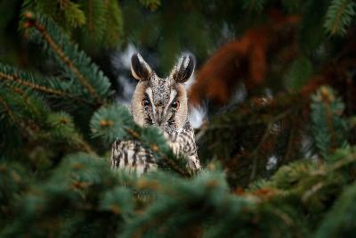 Long-Eared Owl Sitting on the Branch in the Fallen Larch Forest during Autumn. Owl Hidden in the Fo-Ondrej Prosicky-Photographic Print