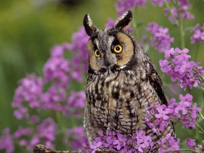 Long Eared Owl-Russell Burden-Photographic Print