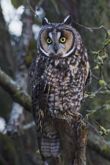Long-eared Owl-Ken Archer-Premium Photographic Print
