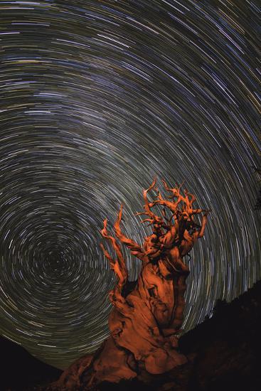Long Exposure of Star Trails Above a Bristlecone Pine Tree in California, Usa-Babak Tafreshi-Photographic Print