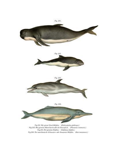 Long-Finned Pilot Whale, 1860--Giclee Print