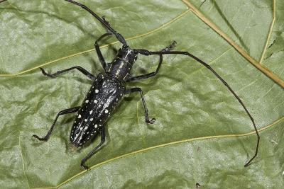 Long-Horned Beetle, Yasuni NP, Amazon Rainforest, Ecuador-Pete Oxford-Photographic Print