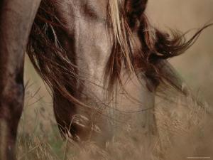 Long-Maned Mustang Mare Grazes in the Tall Prairie Grass, Black Hills, South Dakota