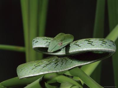 Long-Nose Vine Snake (Ahaetulla Prasina), in Captivity, from Southeast Asia, Asia-James Hager-Photographic Print