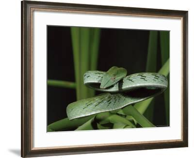 Long-Nose Vine Snake (Ahaetulla Prasina), in Captivity, from Southeast Asia, Asia-James Hager-Framed Photographic Print