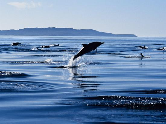 Long-Nosed Common Dolphin, Porpoising, Sea of Cortez-Gerard Soury-Photographic Print
