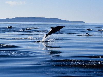 https://imgc.artprintimages.com/img/print/long-nosed-common-dolphin-porpoising-sea-of-cortez_u-l-q10r5140.jpg?p=0