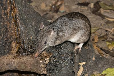 Long-Nosed Potaroo (Potorous Tridactylus) a Small Rodent Like Marsupial-Louise Murray-Photographic Print