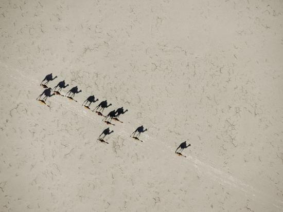 Long Shadows of Camels across Salt Flats above Lake Assal, Djibouti--Photographic Print