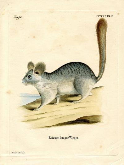Long-Tailed Chinchilla--Giclee Print