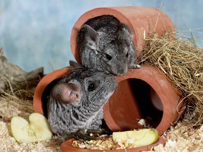Long-Tailed Chinchillas at Play-Steimer-Photographic Print