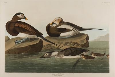 https://imgc.artprintimages.com/img/print/long-tailed-duck-1836_u-l-q1byd5c0.jpg?p=0