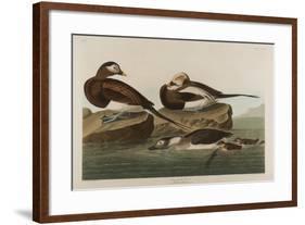 Long-Tailed Duck, 1836-John James Audubon-Framed Giclee Print