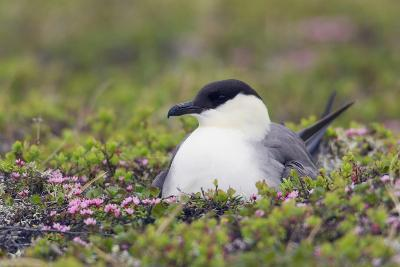Long-Tailed Jaeger Sitting on Nest-Ken Archer-Photographic Print