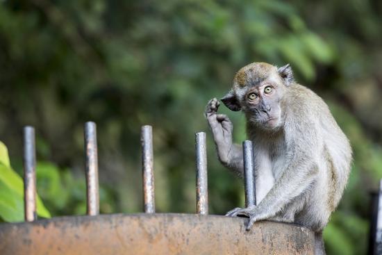Long-Tailed Macaque at Batu Caves, Kuala Lumpur, Malaysia-Paul Souders-Photographic Print