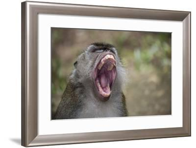 Long-Tailed Macaque (Macaca Fascicularis), Bako National Park, Sarawak, Borneo, Malaysia-Michael Nolan-Framed Photographic Print