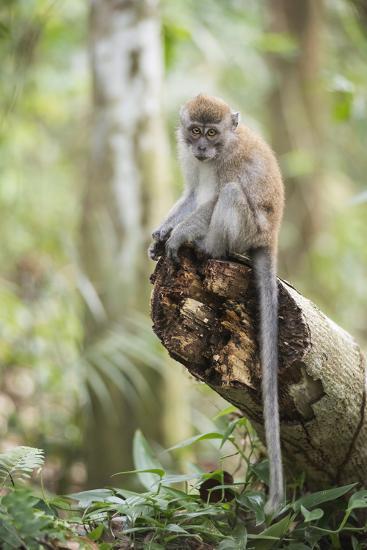 Long Tailed Macaque (Macaca Fascicularis) in the Jungle at Bukit Lawang-Matthew Williams-Ellis-Photographic Print