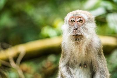 Long Tailed Macaque (Macaca Fascicularis), Indonesia, Southeast Asia-John Alexander-Photographic Print