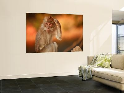 Long-Tailed Macaque-Andrew Bain-Wall Mural