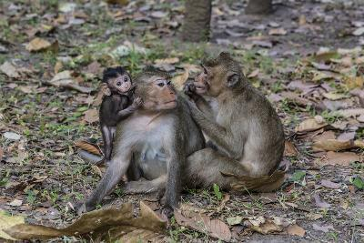 Long-Tailed Macaques (Macaca Fascicularis) Grooming Near Angkor Thom, Siem Reap, Cambodia-Michael Nolan-Photographic Print