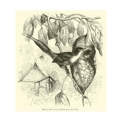 Long-Tailed Tailor-Bird and Nest--Giclee Print