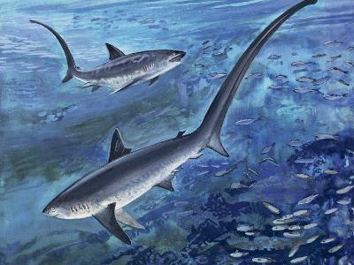 Long Tailed Thresher Shark Swimming Underwater (Alopias Vulpinus)--Photographic Print