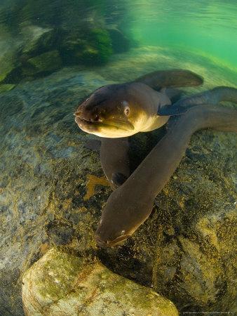 https://imgc.artprintimages.com/img/print/longfin-eels-new-zealand_u-l-q10r4vg0.jpg?artPerspective=n