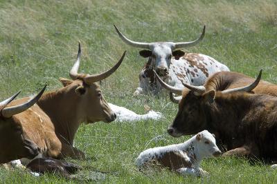 Longhorn Cattle in the Black Hills, South Dakota--Photographic Print