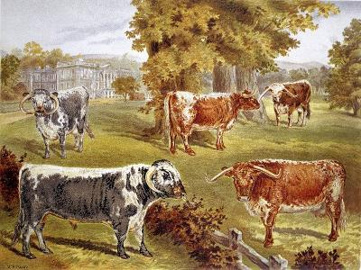 Longhorn Cattle Owned by Sir John Harpur-Crewe, Calke Abbey, 1885--Giclee Print
