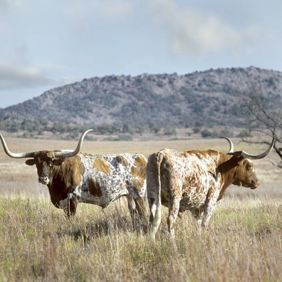 Longhorn Cattle, Texas, Usa-Tim Fitzharris-Photographic Print