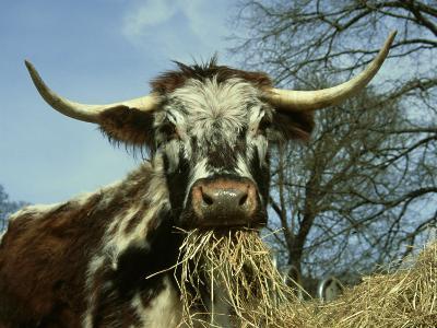 Longhorn Cattle, UK-Mark Hamblin-Photographic Print