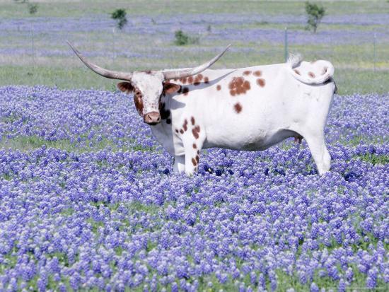 Longhorn Grazing on Bluebonnets, Midlothian, Texas-Pat Sullivan-Photographic Print