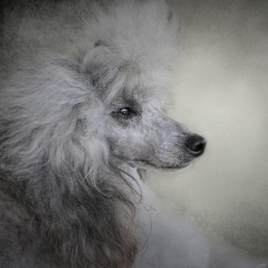 Longing Silver Standard Poodle-Jai Johnson-Giclee Print