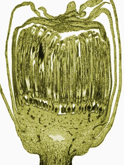 Longitudinal Section of the Floral Bud of a Dandelion, Taraxacum-David Phillips-Photographic Print