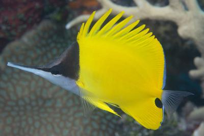 Longnose Butterflyfish (Forcipiger Flavissimus)-Louise Murray-Photographic Print