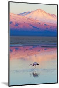 Flamingo, Pink Sunset above Atacama Desert by longtaildog
