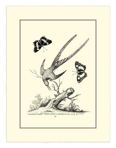 Longtailed Hummingbird , c.1742-George Edwards-Giclee Print
